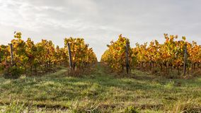 Vineyard fields at autumnal sunset. Vineyard at autumnal sunset in the countryside royalty free stock image