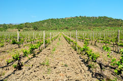 Vineyard and azure blue sky. Vineyard. Young plants of grapes on a background of mountains and forest. azure blue sky Royalty Free Stock Image
