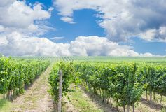 Vineyard against of the sky with clouds Royalty Free Stock Photo