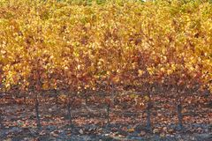 Vineyard in backlight, autumn yellow and brown leaves Stock Images