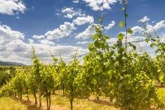 Vineyard in Baden-Baden Stock Photo