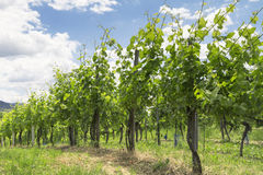 Vineyard in Baden-Baden Royalty Free Stock Photos