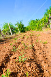 Vineyard in Balaclava Stock Images