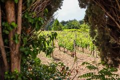 Vineyard in the Balkans in summer day. Rows of young vineyard. Vineyard in the Balkans in summer day royalty free stock photo