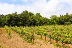 Vineyard in the Balkans in summer day. Rows of young vineyard. Vineyard in the Balkans in summer day stock photography