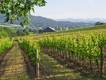 Vineyard with Barn and mountains. Rows of grape plants in a hillside vineyard with old barn in distance and layers of mountains at horizon.  Jacksonville, Oregon Stock Photography