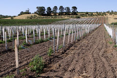 Vineyard in the Barossa Valley. Australia royalty free stock photo