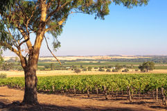 Vineyard - Barossa Valley Royalty Free Stock Photos