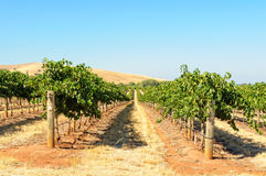Vineyard - Barossa Valley Royalty Free Stock Photography