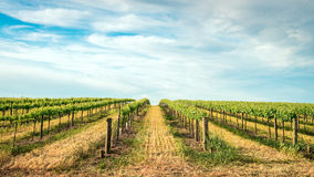 Vineyard in Barossa Valley. South Australia royalty free stock photography