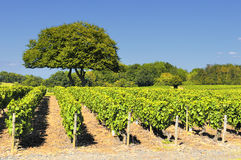 Vineyard in Beaujolais Royalty Free Stock Photo