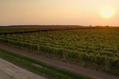 Vineyard. Beautiful vineyard in city of Vukovar (Croatia royalty free stock images