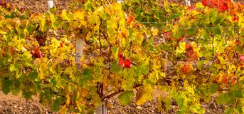 Vineyard in beautiful colors at the end of the harvest royalty free stock photo