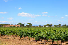 Vineyard with beautiful sky and clouds Royalty Free Stock Photo