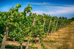 Vineyard. With a beautiful sky in Mcminnville, Oregon stock image