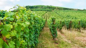 Vineyard beds in region of Alsace Wine Route. Travel to France - vineyard beds on hill in region of Alsace Wine Route in summer day Royalty Free Stock Image