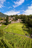 Vineyard in  Bellinzona Royalty Free Stock Images