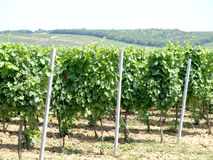 Vineyard. With beutiful leaves in foreground Stock Images