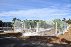Vineyard Bird Netting Stock Images