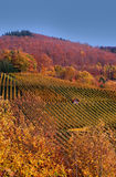 Vineyard in the black forest Stock Image