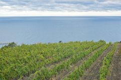 Vineyard on a Black Sea shore at a fall season Stock Image
