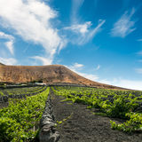 Vineyard upon black volcanic sand in Lanzarote Royalty Free Stock Images