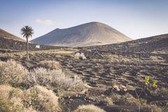 Vineyard on black volcanic soil in La Geria area. Lanzarote.Cana Royalty Free Stock Photo
