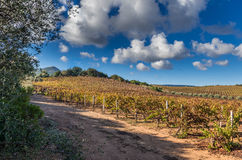 Vineyard and blue cloudy sky Stock Photography