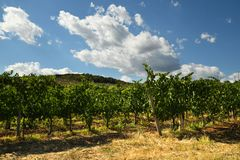 Vineyard and blue cloudy sky. Royalty Free Stock Photography