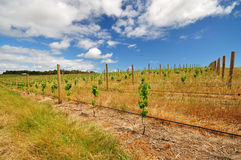 Vineyard with blue cloudy sky Royalty Free Stock Photos