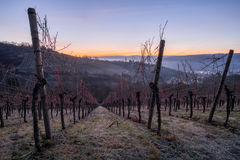 Vineyard in the blue hour of the morning Stock Images