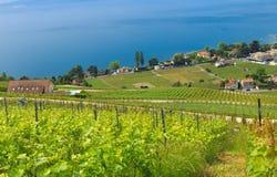 Vineyard and blue lake Leman. Switzerland, Lavaux village, lake Leman, vineyard and beautiful blue lake Royalty Free Stock Photo