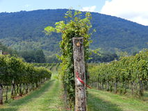 Vineyard with blue mountain as background.  Stock Photography