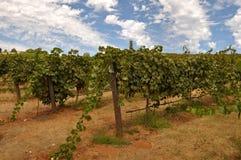 Vineyard Blue Sky Stock Images