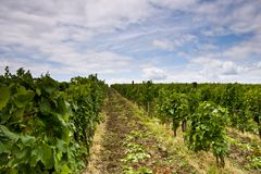 Vineyard and blue sky Royalty Free Stock Photos