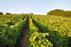 Vineyard with blue sky Royalty Free Stock Photo