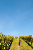 Vineyard with a blue sky Stock Image