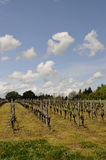 Vineyard with a Blue Sky Royalty Free Stock Photography
