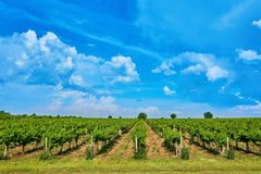 Vineyard and blue sky with clouds. Bright sunny day Vineyard over hill with beautiful blue sky with clouds stock photo