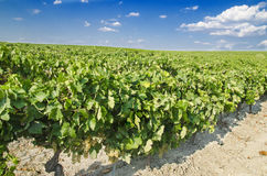 Vineyard with blue sky Royalty Free Stock Photography