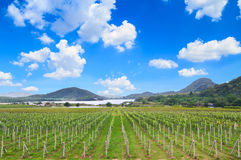 Vineyard and blue sky in Thailand Stock Image