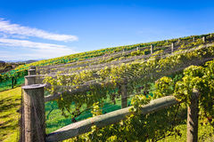 Vineyard and Blue Sky Royalty Free Stock Photography