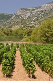 Vineyard in Bol town on island Brac. Croatia Royalty Free Stock Photos