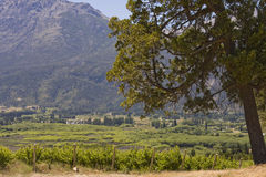 Vineyard in Bolson, Argentina (with big tree) Royalty Free Stock Photography