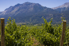 Vineyard in Bolson, Argentina (close up) Royalty Free Stock Photography