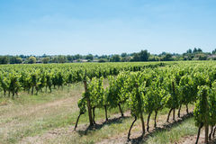 Vineyard for Bordeaux's red wine Stock Image