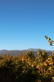 Vineyard on Boschendal. Wine farm in autumn. Shot in the early afternoon in South Africa Royalty Free Stock Photo