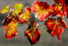 Vineyard branch stock photo