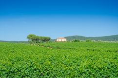 Vineyard on a bright  day Royalty Free Stock Image