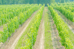 Vineyard on a bright  day Royalty Free Stock Images